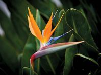 crane flower 3